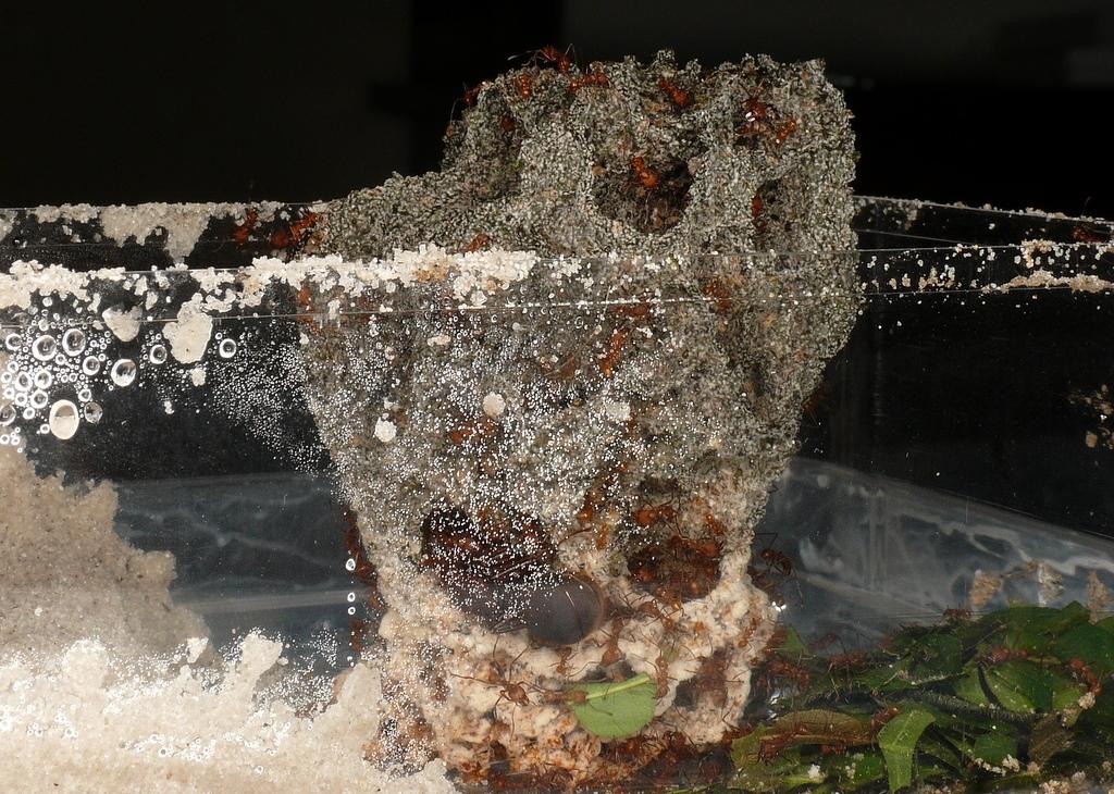 listove mravce , chov mravcov , atta