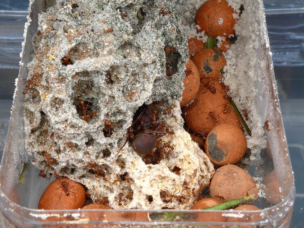 atta , chov mravcov , listove mravce
